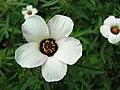 Hibiscus trionum Ketmia południowa 2013-08-11 05.jpg