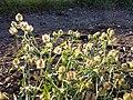 Hibiscus trionum sl53.jpg