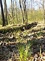 Hierochloe australis sl61.jpg
