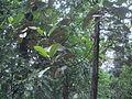 Hieronyma macrocarpa.JPG