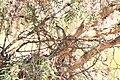 Highland Elaenia (Elaenia obscura).jpg
