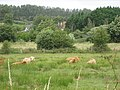 Highland cattle in the Isle of Wight - geograph.org.uk - 1967587.jpg