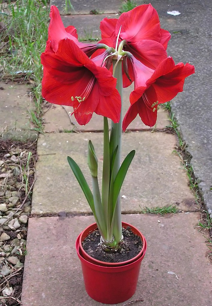 File wikimedia commons for Amaryllis royal red arrosage
