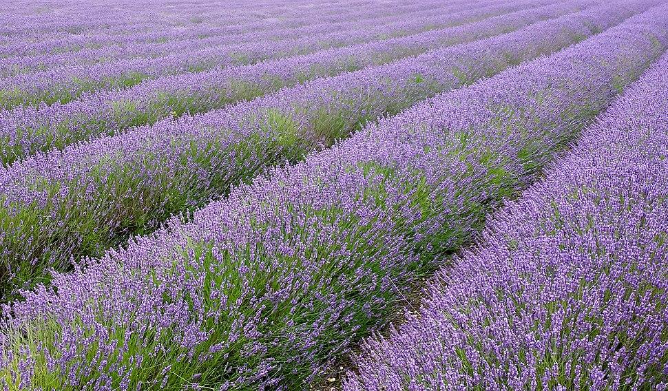 Hitchin lavender fields