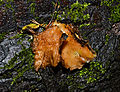 Hohenbuehelia geogenia - Erd-Muschelseitling - 03.jpg