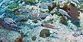 Holocentrus adscensionis (squirrelfish) & Haemulon flavolineatum (French grunts) (San Salvador Island, Bahamas) (16182196342).jpg