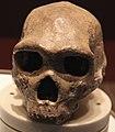 Homo heidelbergenesis skull - front - Smithsonian Museum of Natural History - 2012-05-17.jpg