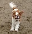 Honey the dog on the beach.jpg