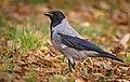 Hooded crow (49141022542).jpg