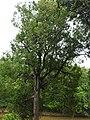 Hopea parviflora-1-forest office-mundanthurai-tirunelveli-India.jpg