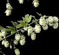 Hops- Humulus Lupulus (14173153178).jpg