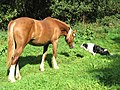 Horse and hound - a friendly encounter - geograph.org.uk - 1493115.jpg