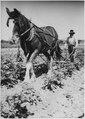 Horse pulling plow hand-held by man - NARA - 285218.tif