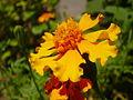 Hrushikesh kulkarni yellow flower2.JPG