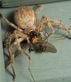 Huntsman spider Olios giganteus eating crane flies (2).jpg