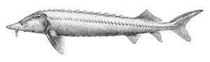 Beluga (sturgeon) - Image: Huso huso 1