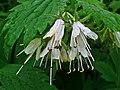 Hydrophyllum virginianum 002.JPG