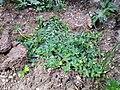Hypericum humifusum sl24.jpg