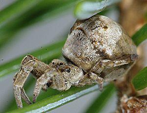 Dreieckspinne (Hyptiotes paradoxus), Weibchen