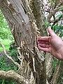 IMG 2759 Heptacodium miconioides Rehder.jpg