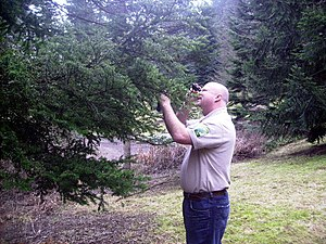 Urban forestry - James Kinder, an ISA Certified Municipal Arborist examining a Japanese Hemlock at Hoyt Arboretum