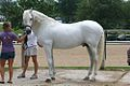 I believe that this is the Andalusian Stallion Pecos (5966346891).jpg
