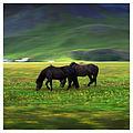 Icelandic horses (20188828008).jpg