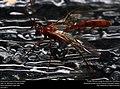 Ichneumon wasp (Ichneumonidae) (36631538304).jpg