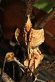 Idolomantis diabolica-subadult female.JPG