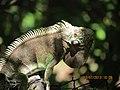 Iguana. - panoramio (1).jpg