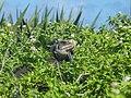 Iguane sur Petite Terre, Guadeloupe.jpg