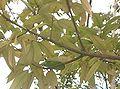 Ilex latifolia3.jpg