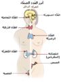 Illu endocrine system New-ar.png