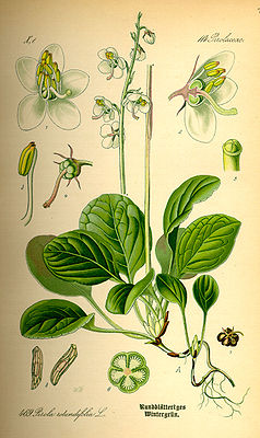 Rundblättriges Wintergrün (Pyrola rotundifolia), Illustration