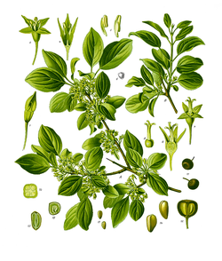 Illustration of Rhamnus catharticus 63-cropped.png
