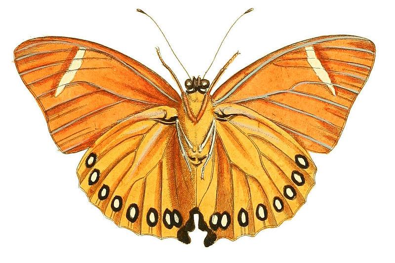 Bộ sưu tập cánh vẩy 5 - Page 14 800px-Illustrations_of_Exotic_Entomology_Nymphalis_Eleus_under