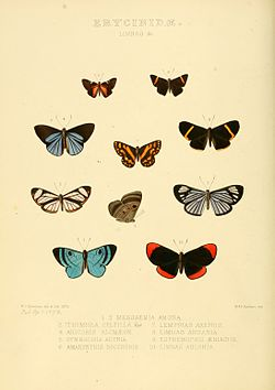 Illustrations of new species of exotic butterflies Limnas &c.jpg