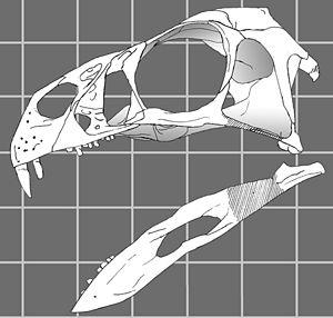 Drawing of the skull of Incisivosaurus