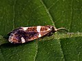 Incurvaria praelatella (26131883207).jpg
