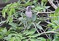 Indian Grey Hornbill Pune City.jpg