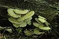 Indian Oyster - Pleurotus pulmonarius (29089784567).jpg