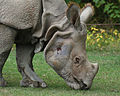 Indian Rhino2 (Rhinoceros unicornis)2 - Relic38.jpg