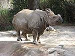 Indian rhinoceros (Cincinnati Zoo)
