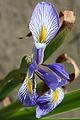 Iris versicolor - blue flag 0146.jpg