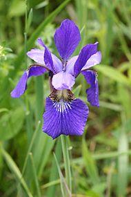 Iris versicolor SCA-0753.jpg