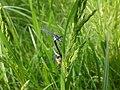 Ischnura elegans, Agrion élégant (de face) 59210.jpg