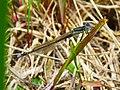Ischnura elegans Desna1.jpg