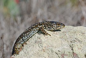 Island night lizard on Rock Side.jpg