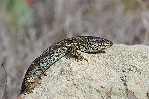 Description de l'image Island night lizard on Rock Side.jpg.