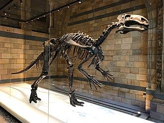 Mantellisaurus - Holotype skeleton, Natural History Museum, London
